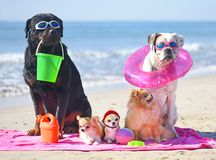 Dogs on the beach. Group of dogs sitting on the beach Stock Images