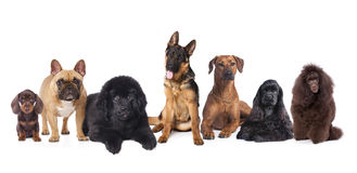 Group of dogs. Sitting in front of a white background royalty free stock photo