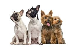 Group of dogs sitting and looking up, isolated. On white stock image