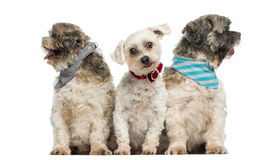 Group of dogs sitting in a row, isolated Stock Photography