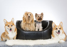 Group of dogs. Some of them sits on a sofa. Welsh corgi pembroke, yorkshire terrier and havannais dog. Image taken in a studio Royalty Free Stock Photos