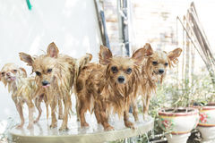 Group of dogs stand up on glass table Royalty Free Stock Images