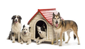 Group of dogs in and surrounding a kennel Stock Images