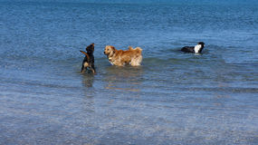 Group of dogs swimming in the sea Royalty Free Stock Photography