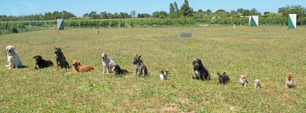 Group of dogs. In a training of obedience Stock Photos