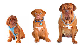 Group of the dogs wearing different accessories Stock Photography