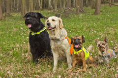 Group of dogs are wearing a reflective vest. stock images