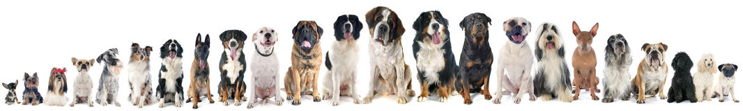 Group of dogs. Of white background Stock Image