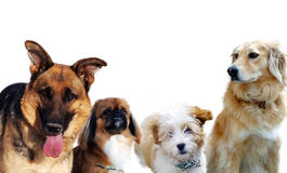 Group of dogs on white Royalty Free Stock Image