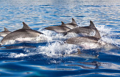 Group of Dolphins Royalty Free Stock Photography