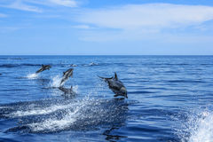 Group of Dolphins jumping Royalty Free Stock Image
