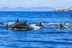 Group of Dolphins jumping Royalty Free Stock Images