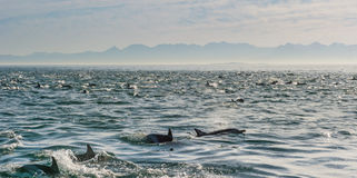 Group of dolphins in the ocean. Group of dolphins, underwater swimming in the ocean and hunting for fish. The Long-beaked common dolphin ( Delphinus capensis ) Royalty Free Stock Photos