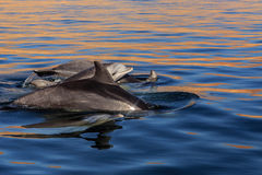 Group of dolphins in sea close to Parakas national reserve, Peru Royalty Free Stock Images