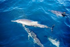 Group of Dolphins in Sea. Top View
