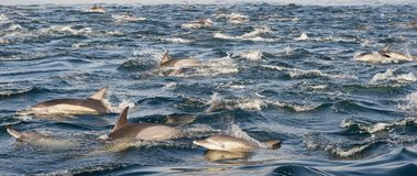 Group of dolphins, swimming in the ocean Royalty Free Stock Photo