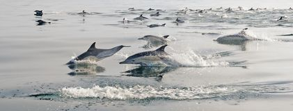 Group of dolphins, swimming in the ocean Stock Photography