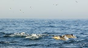 Group of dolphins, swimming in the ocean  and hunting for fish. Royalty Free Stock Photo