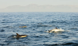 Group of dolphins, swimming in the ocean  and hunting for fish. Royalty Free Stock Photos