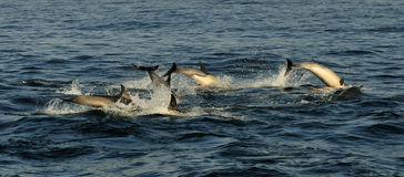 Group of dolphins, swimming in the ocean  and hunting for fish. Stock Images