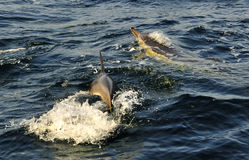 Group of dolphins, swimming in the ocean  and hunting for fish. Stock Photo