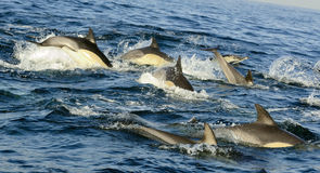 Group of dolphins, swimming in the ocean  and hunting for fish. Royalty Free Stock Photography