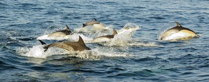 Group of dolphins, swimming in the ocean  and hunting for fish. Royalty Free Stock Image