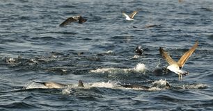 Group of dolphins, swimming in the ocean  and hunting for fish. Stock Photography