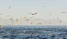 Group of dolphins, swimming in the ocean  and hunting for fish. The jumping dolphins comes up from water. The Long-beaked common d Royalty Free Stock Image