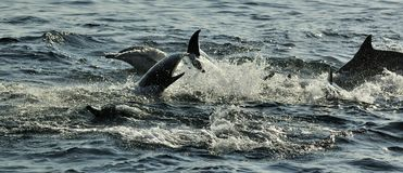 Group of dolphins, swimming in the ocean  and hunting for fish. The jumping dolphins comes up from water. The Long-beaked common d Royalty Free Stock Images