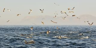 Group of dolphins, swimming in the ocean  and hunting for fish. The jumping dolphins comes up from water. The Long-beaked common d Stock Photo