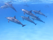 Group of dolphins in tropical sea, underwater.  Stock Images