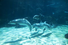 Group of Dolphins Underwater Stock Images