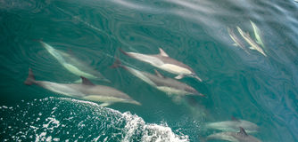 Group of dolphins. underwater. Group of dolphins, underwater swimming in the ocean and hunting for fish. The Long-beaked common dolphin ( Delphinus capensis ) Stock Image