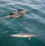 Group of dolphins, underwater swimming in the ocean. And hunting for fish. The Long-beaked common dolphin ( Delphinus capensis ) swim in atlantic ocean. Blue Royalty Free Stock Photos