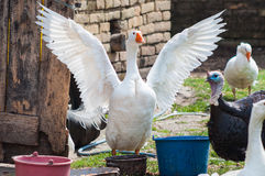 Group of domestic animals, geese, turkey. Group of domestic animals  outside at farm, geese, turkey Stock Photography