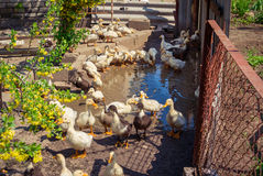 Group of domestic ducklings Royalty Free Stock Images