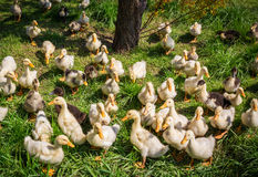 Group of domestic ducklings Royalty Free Stock Image