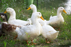 Group of domestic geese Stock Image