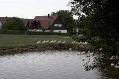 Group of domestic geese wandering. Group of domestic geese (Anser Anser domesticus / Anser cygnoides) walking next to a pond in Bavaria Royalty Free Stock Photo