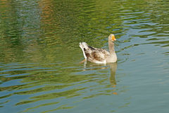 Group of domestic goose in pond Royalty Free Stock Photos