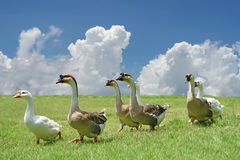 Group of domestic goose walking on the field Stock Images