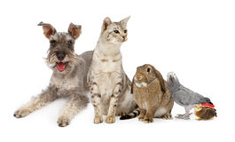 Group of Domestic Pets. A group of common domestic pets including a miniature Schnauzer dog, an Ocicat breed cat, an African Gray Parrot a lop-earred rabbit and Stock Images