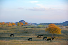 A group of donkey grazing on the prairie in autumn Stock Images