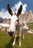 Group of Donkey on mountain in Italien Dolomites Stock Images