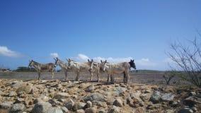 Group of donkeys Stock Images