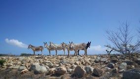 Group of donkeys Stock Photos
