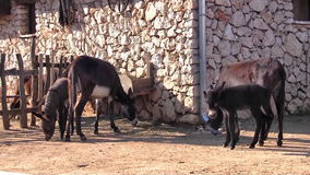 Group of donkeys on the farm stock video footage