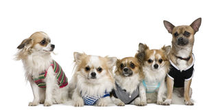 Group of dressed chihuahuas Stock Photos