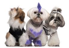Group of dressed and groomed Shih-tzu's Royalty Free Stock Image